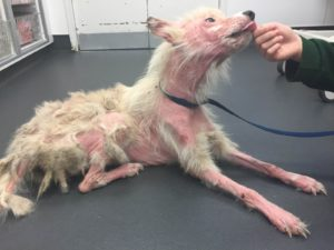 Neglected dog suffering from severe skin condition
